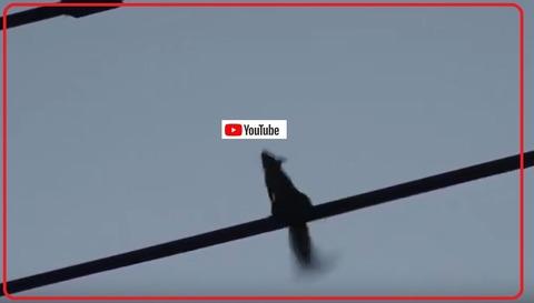 山中湖のニホンリス動画