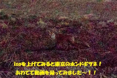 東京多摩川のキツネ