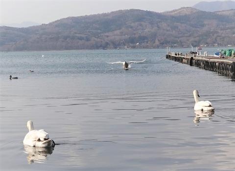 2 山中湖白鳥の着水