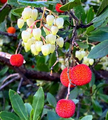 arbre de fraises1