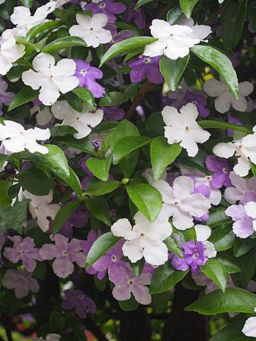 brunfelsia latifolia2