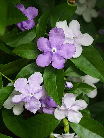 brunfelsia latifolia1