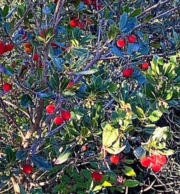 arbre de fraises3