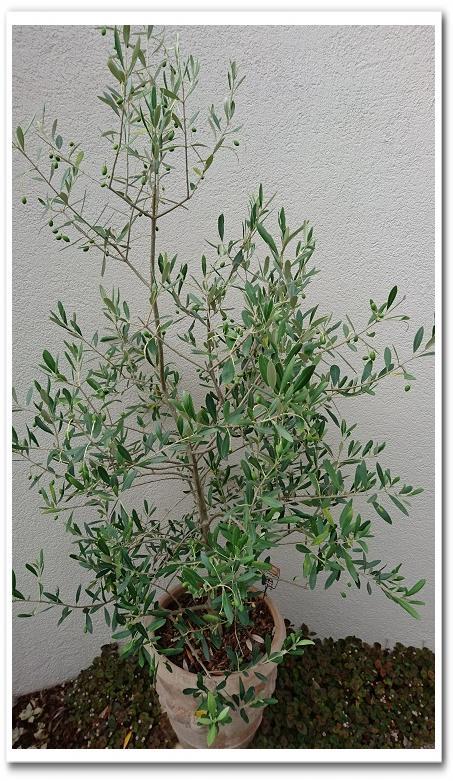 ナチュラルなオリーブの木