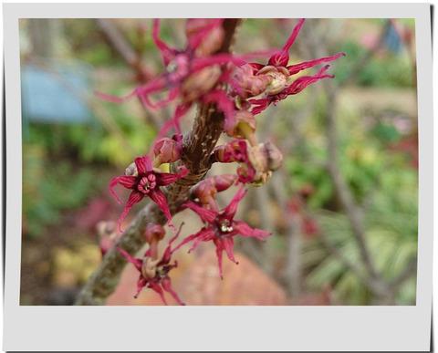 マルバノキの花