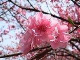 20090407桜2