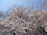 20090407桜1