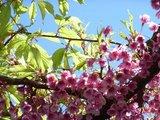 20070313桜?