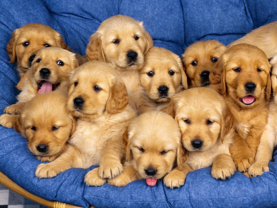 日本とアメリカの人気犬種ランキング比較。