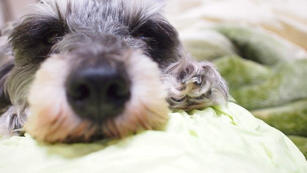 犬を飼いたい方にはお勧めMシュナウザー