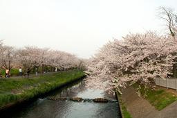 20110410sakura12