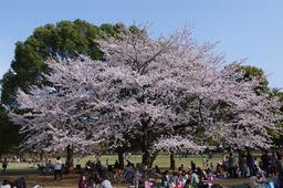 20110411sakura01