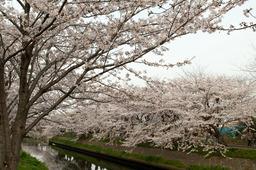 20110410sakura13