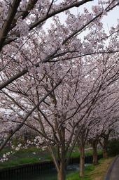 20110410sakura15