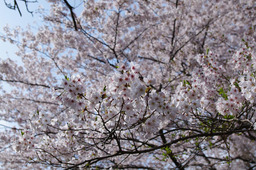 20110411sakura02