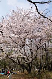 20110411sakura03