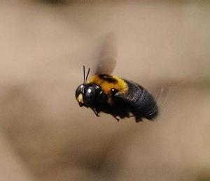 クマバチの画像 p1_31