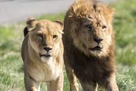 密猟者「ククク……」 ライオン「おっ…」