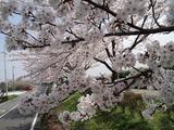 三郷放水路の桜�