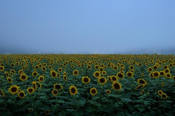 朝霧と向日葵
