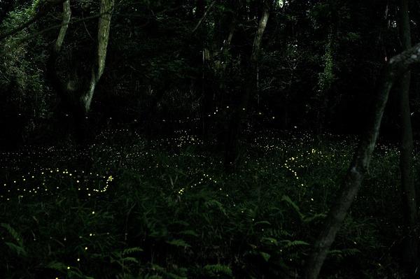 蛍の舞う夜