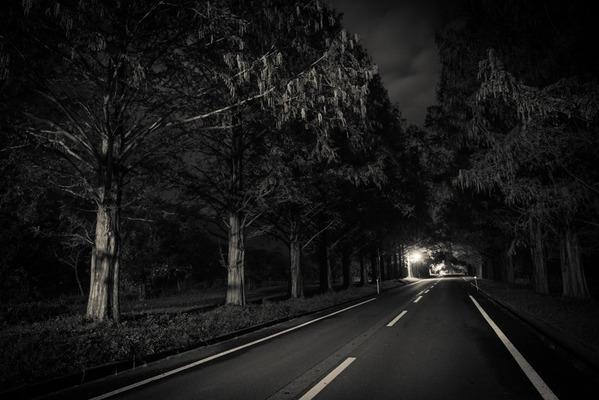 メタセコイアの夜