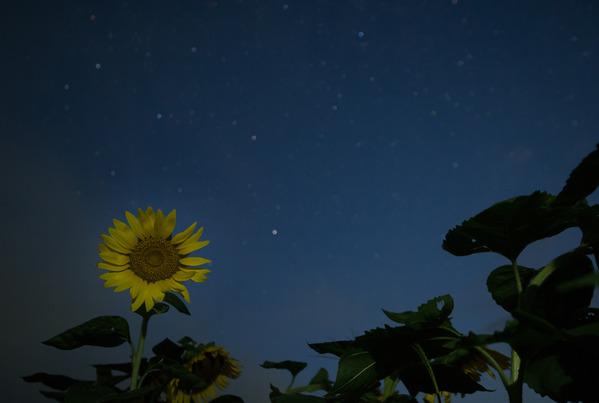 星と向日葵