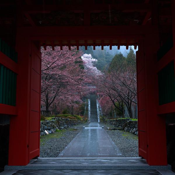 酒波寺の桜