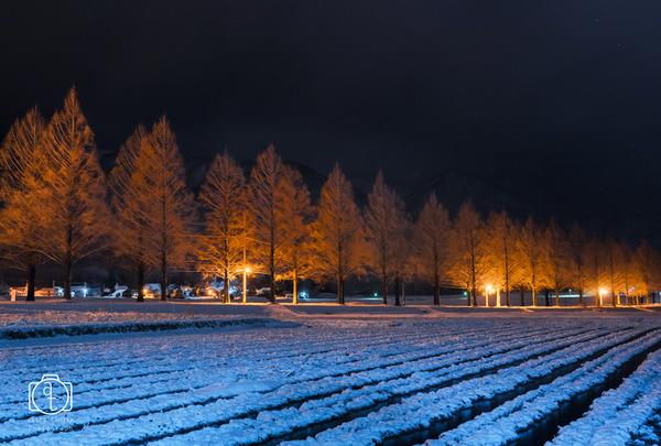 冬のメタセコイア
