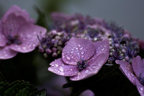 梅雨に咲く
