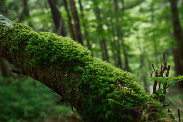 苔を纏う森