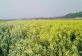 キャベツの花畑