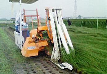 イグサ収穫