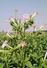 たばこ(花)