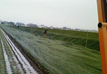 4番刈りイグサ