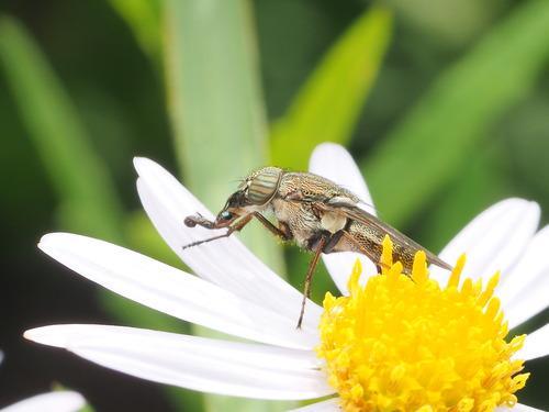 ツマグロキンバエ (2)