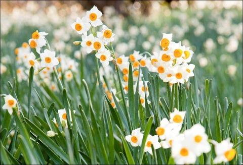厳しい冬に耐え、春を待つ花とも言われる日本水仙。