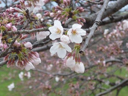 『桜三分咲き』