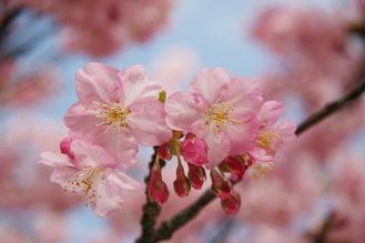 河津桜(みなみ4)