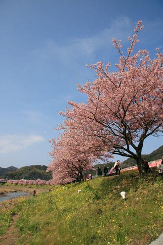 河津桜(みなみ2)