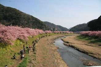 河津桜(みなみ01)