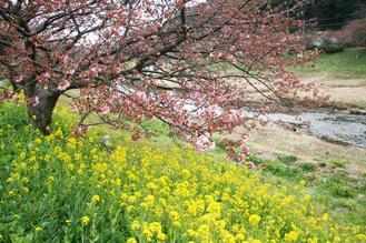 みなみ桜1