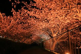 かわづ夜桜01