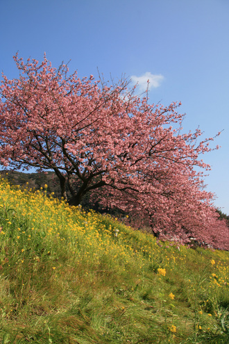 みなみ桜002