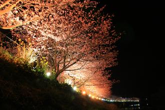 かわづ夜桜02