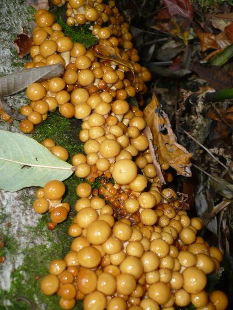 写真は全て天然ナメコですが、もし原木ナメコを栽培するなら原木になる木はブ... 天然キノコ、ナメ
