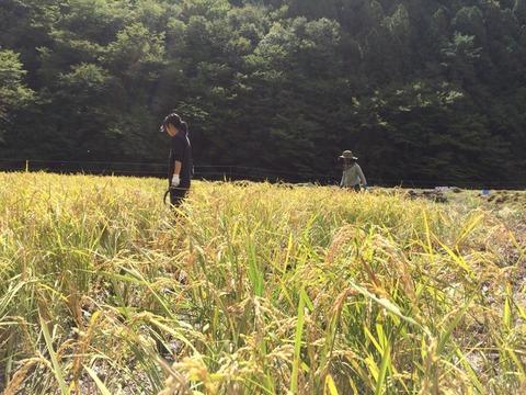 お米収穫しました☆