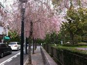 京都201304簡易裁判所しだれ桜
