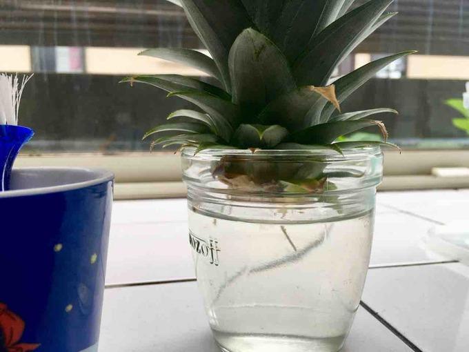 パイナップル 水栽培