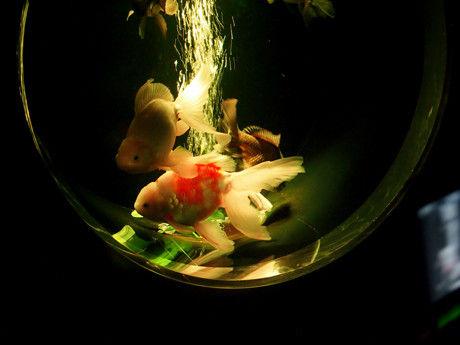 アートアクアリウム 金魚